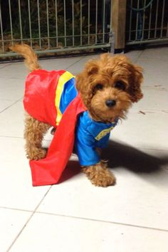 My little superman puppy #cavoodle #costume #superpuppy