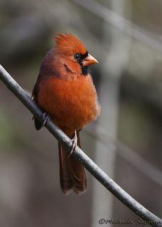 Northern Cardinal (male), via Flickr.