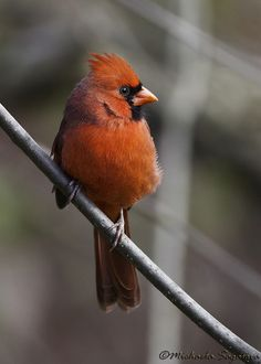 Northern Cardinal (male), via Flickr.