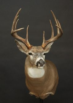 Whitetail Deer Hunting, Deer Mounts, White Tail, Taxidermy, Drawings, Drawing Ideas, Animals, Wall Mount, Big