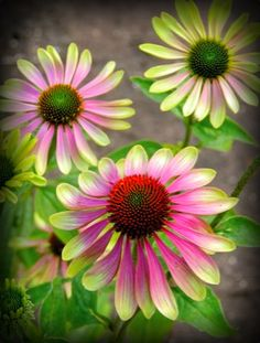 Color Transitions With Age Blooms Change Green To Pink Late Summer To Fall Bloom Time Attracts Butterflies, Hummingbirds, & Birds Easy To Grow! The Coneflower 'Green Envy', Echinacea purpurea 'Green Envy', is an easy to grow perennial that Flower Beds, My Flower, Dream Garden, Garden Inspiration, Trees To Plant, Beautiful Gardens, Garden Plants, Perennials, Pink And Green
