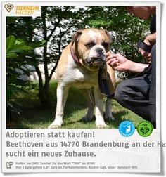 Ein Hund namens Beethoven wartet im Tierheim Brandenburg auf ein Zuhause. http://www.tierheimhelden.de/hund/tierheim-brandenburg_an_der_havel/american_bulldog/beethoven/11831-0/ Beethoven kam als Privatabgabe ins Tierheim und ist noch etwas zurückhaltend. Meistens wird er jedoch zum Clown. Rasseliebhaber mit Wachhunderfahrung und ohne kleine Kinder wären für ihn