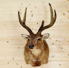 Mounted Rusa Deer at Safariworks Taxidermy Sales - SW8900