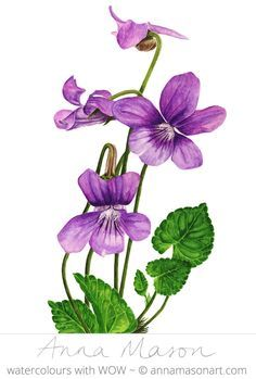 Violet, realistic watercolor flowers by Anna Mason Art Botanical Flowers, Botanical Prints, Watercolor Cards, Watercolor Flowers, Art Floral, Violet Tattoo, Anna Mason, Illustration Botanique, Sweet Violets