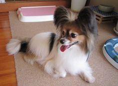 My beloved dog RAN, Papillon 6 year old female