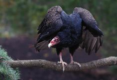 "Turkey vulture: ""A k"