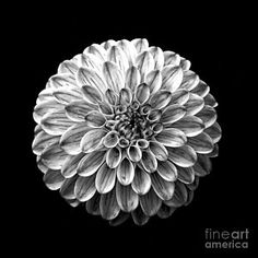 Black Flower Photograph - Dahlia  Flower Black And White Square by Edward Fielding