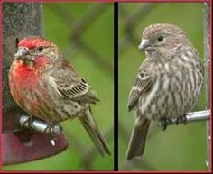 The house finches arrive in Spring. I usually hear them singing before I see them then I know it is nearly Spring. They sing beautifully. Sound so happy.