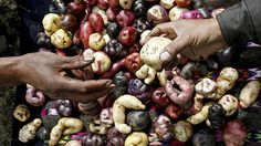 Quechua Indian farmers display native potatoes at the International Potato Center (CIP) experimental station in the village of Aymara