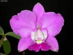 Híbrido (Cattleya loddigesii e Cattleya walkeriana) CATTLEYA , MERISTEMAS ... Cattleya DOLOSA 'PRADO'
