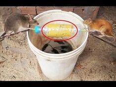 piège à rat fait maison avec une grande boite de conserve   cages à oiseaux   Pièges à rats ...