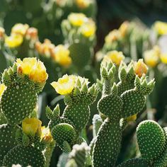 An evergreen cactus that's as cute as its namesake, bunny ears cactus rarely produces spines. Its bright yellow flowers appear in spring and summer