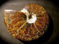 """Cleoniceras sp. Ammonite    Phylum Mollusca, Class Cephalopoda, Subclass Ammonoidea, Order Ammonitida    Geological Time: Triassic    Size: Ammonite is 5 5/8"""" inches in diameter    Fossil Site: Tulear, Madagascar"""