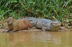 El capibara se hace amigo de cualquier animal.