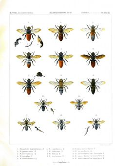 Animal - Insect - Bee - African bee educational plate