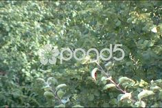 Video: Apple tree branches moving in the wind. Apple Tree, Tree Branches, Stock Video, Stock Footage, Shots, Winter, Flowers, Winter Time, Royal Icing Flowers
