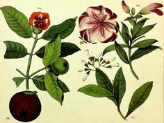 1821 Wilmsen Hand Colored Plants MANGOSTEEN & FRUIT Fire Tiger Lily QUININE BARK