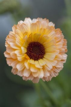 Calendula officinalis 'Pink Surprise' Seeds £2.22 from Chiltern Seeds - Chiltern Seeds Secure Online Seed Catalogue and Shop