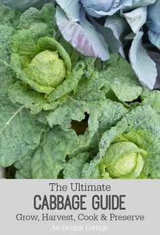 Your go-to guide for all things cabbage- how to grow and harvest, as well as recipes for cooking and preserving. #cabbage #recipes #gardening #growyourfood