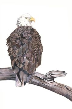 Bald Eagle painting Print of watercolor painting  by LouiseDeMasi, $15.00