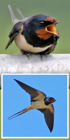 Swallows. I had the pleasure of having these nest in the gables of my roof. The pair raised 2 sets of 4 chicks in one summer season