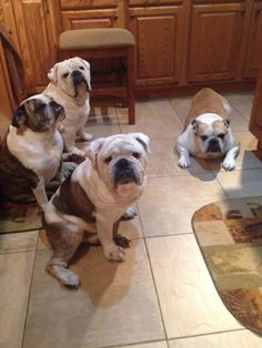 ❤ A beautiful family of mom, dad, son and daughter are Buster, Bailey, Brutis and Briana. ~ Just taking a guess, but bet this is one FUN house! ❤ Posted on English Bulldog News