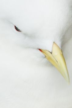 Kittiwake Close Up by Gower Photography, via 500px