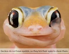 LOL - Geckos are awesome - www.funny-pictures-blog.com