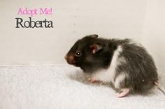 Meet Roberta, an adoptable hamster looking for a forever home. If you're looking for a new pet to adopt or want information on how to get involved with adoptable pets, Petfinder.com is a great resource.