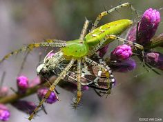 The green lynx spider