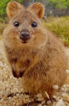 Things that make you go AWW! Like puppies, bunnies, babies, and so on. A place for really cute pictures and videos! Happy Animals, Cute Funny Animals, Cute Baby Animals, Animals And Pets, Strange Animals, Smiling Animals, Wild Animals, Quokka Animal, Australian Animals