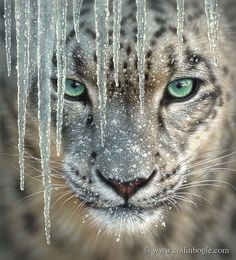 snow leopard with icicles - look at those eyes