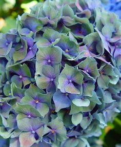 Mop Head Hydrangeas. I love these! My grandmother grew them and I had them included in my bridal bouquet. I would love to grow them here.