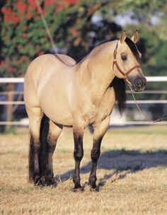 The late Quarter Horse Stallion Hollywood Dun It. I love this stallion and everyone of his kin. I wish I could have met him, he shaped the reining world.