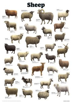 Sheep Art Print by Guardian Wallchart Farm Animals, Animals And Pets, Cute Animals, Sheep Art, Sheep Wool, Sheep Breeds, Cat Breeds, Baa Baa Black Sheep, Animal Science