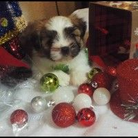Mi-ki Puppies for sale | Mi-ki Dogs | Elegant Tiny Paws Florida