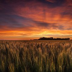 """20.5k Likes, 71 Comments - National Geographic Creative (@natgeocreative) on Instagram: """"A colorful #sky at #sunrise over a wheat field in Saskatchewan, #Canada. #landscape #naturalbeauty"""""""