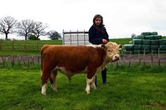 Mini Herefords easy to handle Mini Hereford, Miniature Hereford, Hereford Cattle, Mini Cows, Selective Breeding, Thanks Mom, Insta Photo Ideas, Small Farm