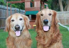 These are Ernie & Jake both are 8 yrs old. They have grown up together and are very bonded and want to find a forever home that will adopt them both. They are healthy, walk well on leash, know basic commands, are neutered, crate trained and up to date with vaccinations. They do not like cats. If you have room in your home and heart for two Goldens Ernie & Jake are at Grateful Golden Retriever Rescue Low Country in SC.