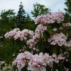 Kalmia Latifolia, Cactus Plante, Flowering Trees, Art Challenge, Native Plants, Garden Inspiration, Spring Flowers, North America, Floral Wreath
