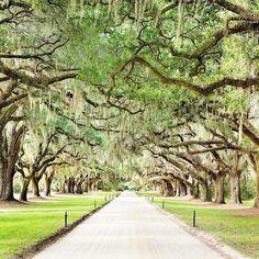 Boone Hall Plantation, Charleston, South Carolina Love the live oak trees, dreamy! Vacation Destinations, Dream Vacations, Vacation Spots, Oh The Places You'll Go, Places To Visit, Charleston South Carolina, Visit Charleston Sc, Charleston Sc Things To Do, Isle Of Palms South Carolina