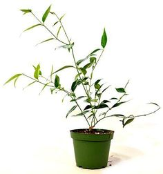 Jasmine-Plant-Star-Shining-Windmill-Angel-Wing-Fragrant-4-Inch-Pot-Bright-White