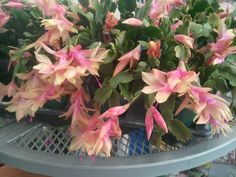 Zygocactus (commonly known as Christmas Cactus) come in many forms and colors! This lovely pink & gold variety blooms in January. Perhaps the name should be changed to Winter Cactus!