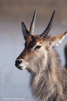 Waterbuck - Wildlife Photographer Community Wildlife photographer Stephen Kangisser shared this wonderful of waterbuck from KNP on http://photos.wildfact.com, a website community for wildlife photographers only. To enjoy the image click below link to view in full mode, to join the community, see many other wildlife photographs and follow wildlife photographers http://photos.wildfact.com/image/567/waterbuck  #Wildlife #WildlifePhotography #Photography #Kruger #KNP