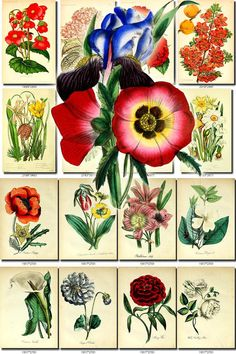 FLOWERS-47 Collection of 62 vintage images Wild Tulip Water