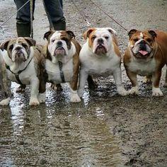 French Bulldog – Playful and Smart Boxer Bulldog, Bulldog Pics, French Bulldog Puppies, English Bulldog Funny, British Bulldog, Funny Bulldog, Cute Puppies, Cute Dogs, Bulldogs Ingles