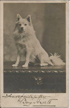 POMERANIAN SPITZ REAL PHOTOGRAPHIC DOG POSTCARD