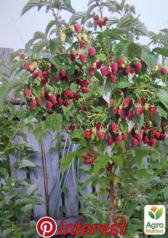 Bogatyr raspberry tree Bogatyr dere So Creative Things Creative DIY Projects is part of Strawberry garden - [ad Raspberry tree Hero Bogatyr Tree Crimson Source by lavonnethorpe Strawberry Garden, Fruit Garden, Garden Trees, Garden Art, Raspberry Tree, Gemüseanbau In Kübeln, Gutter Garden, Fruit Plants, Dwarf Fruit Trees