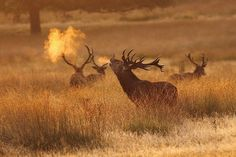 Red Deer Stag, Richmond Park, Surrey [Explored] | Flickr - Photo Sharing!