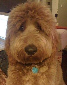 Goldendoodle haircut
